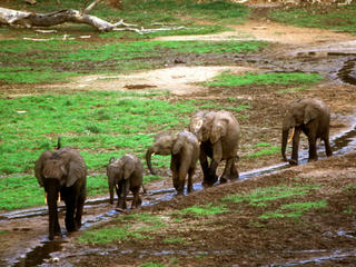 Line of elephants walking