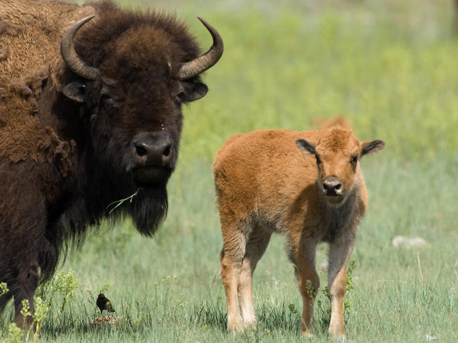 american great plains animals - photo #8