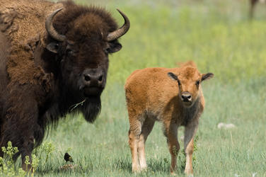 Plains bison why they matter image 201436