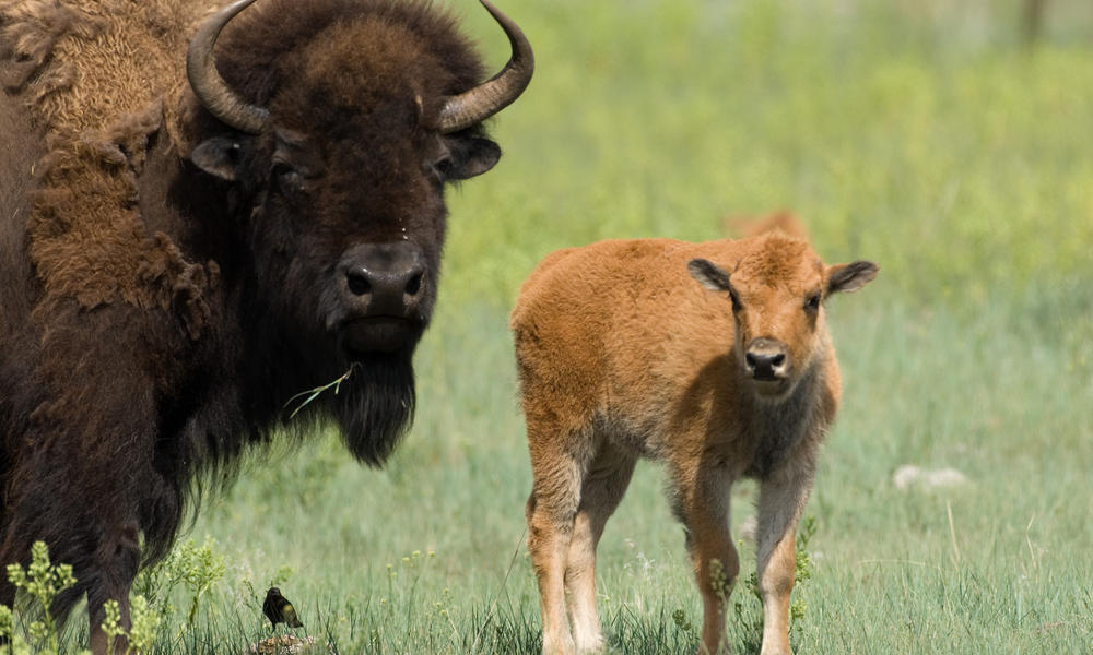World Wildlife Fund image of plains bison, mother and calf