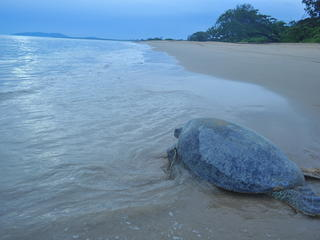 Green Turtle on shore