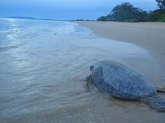 Green turtle back to the sea wwf indonesia  sg. hendratno