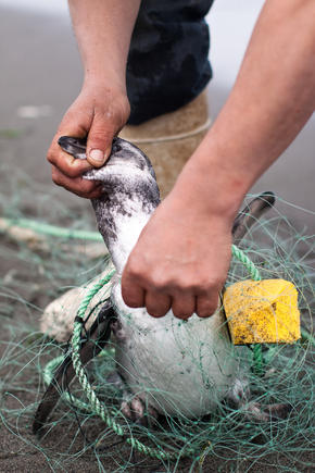 penguin bycatch