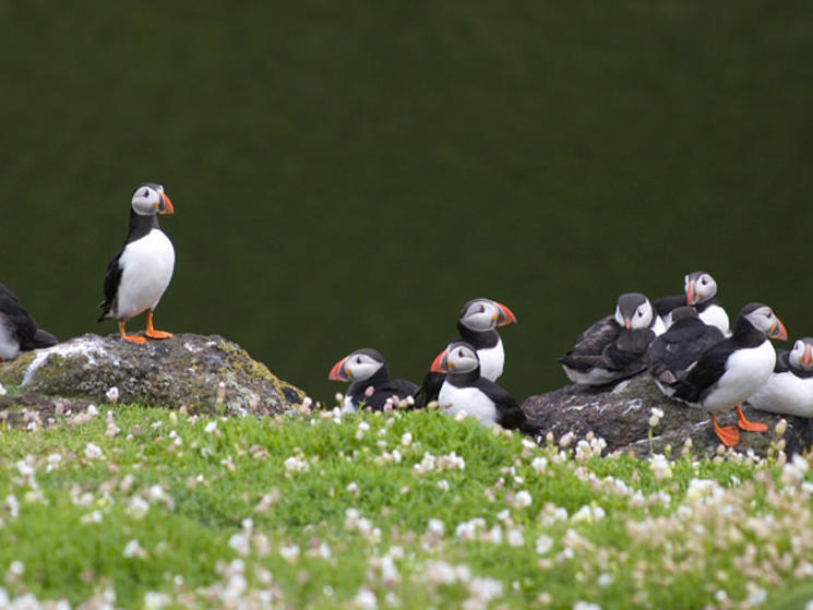 Puffins_isle_of_staffa_scotland_nha