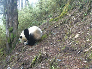 Panda photographed by a camera trap