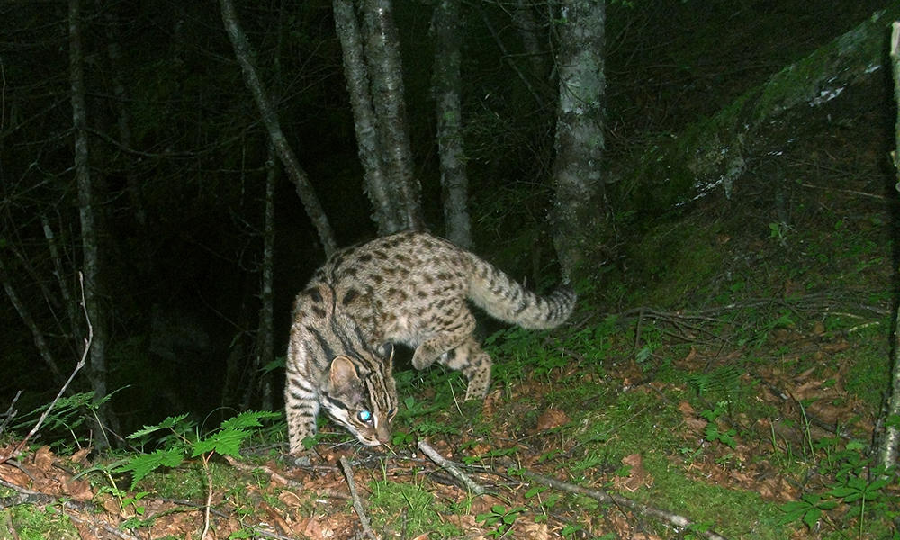 Leopard in China