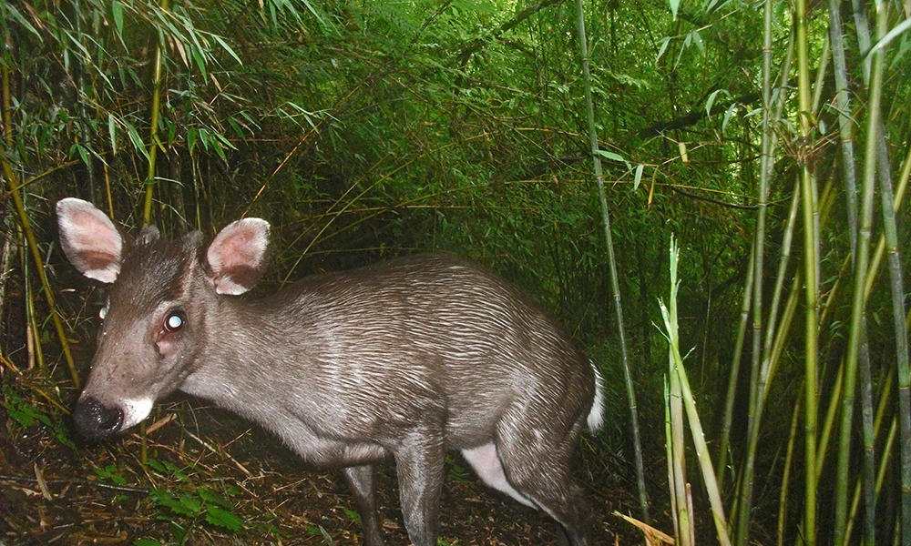 Tufted deer