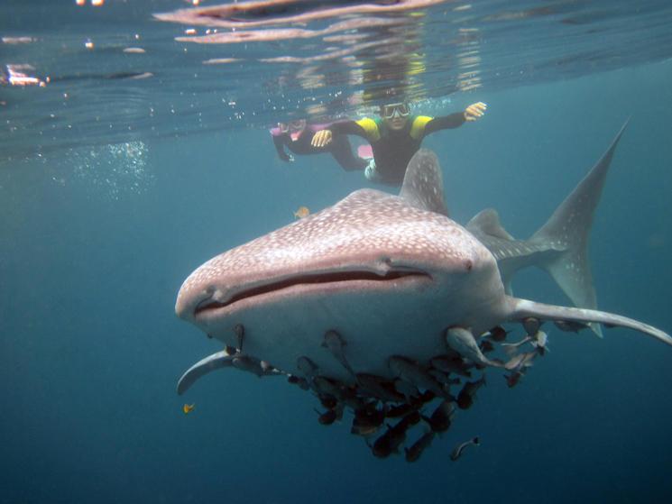Lee-whale_shark