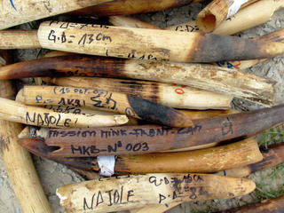 Poached ivory elephant tusks confiscated by anti-poaching patrols