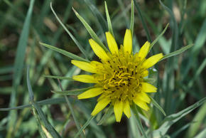 Yellow flower. Custer State Park, South Dakota, United States