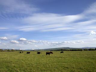 Cows_in_Montana_-_90834503.jpg