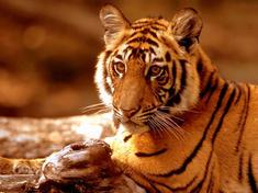 Tiger-full_06.14.2013_ogc-test