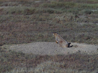 Cynomys mexicanus Mexican prairie dog Their burrows are important to the desert ecology Chihuahua Desert, near Saltillo, Mexico