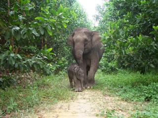 Sumatran elephant and calf