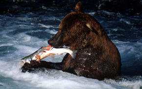 Bear catching a fish