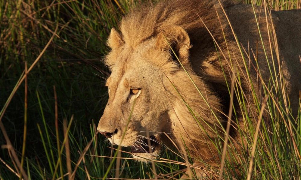 Kramer_Lion_Botswana.jpg