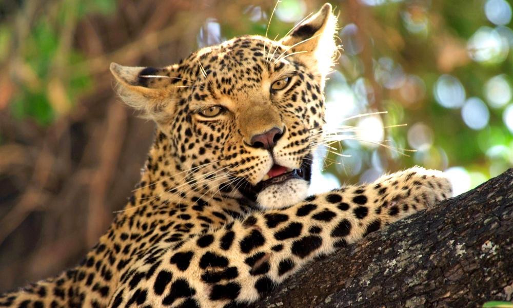 Kramer_Botswana_Leopard.jpg