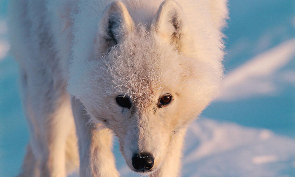 Arctic wolf (Canis lupus), Ellesmere Island, Nunavut, Canada, Arctic.