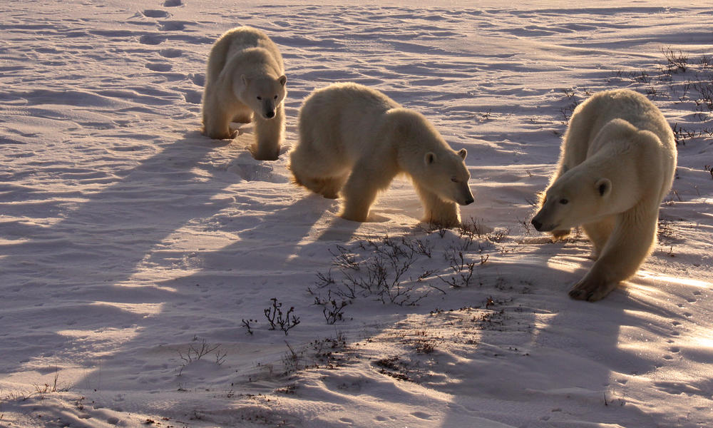 Mellisa-scott-nice_light_polar_bears