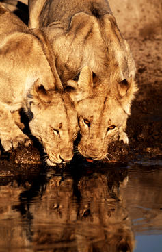 Two lions drinking water