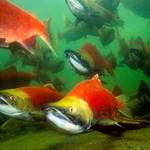 Swimming Pacific Salmon