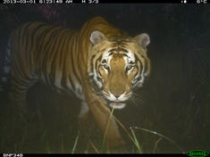 Adult tiger  bardia national park  terai arc landscape nepal
