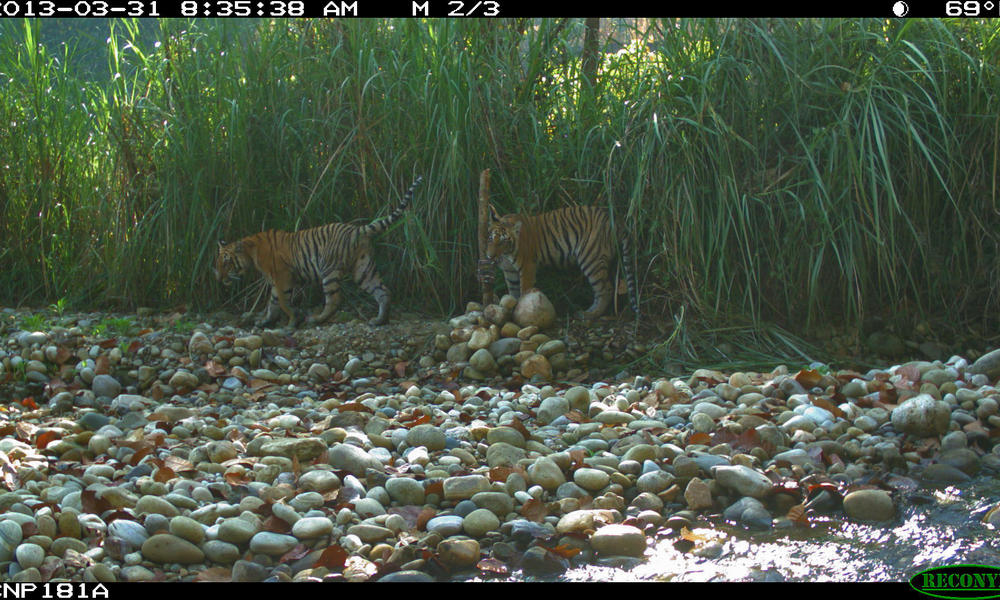 tiger cubs camera trap
