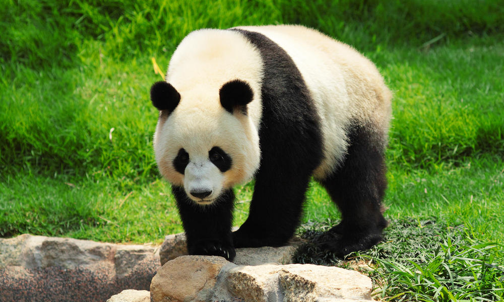 Giant Panda No Longer Endangered Stories Wwf