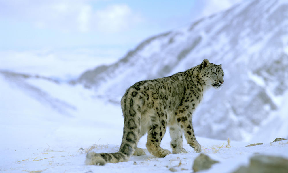 Himalayan leopard - photo#4