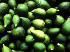 Ficus carica