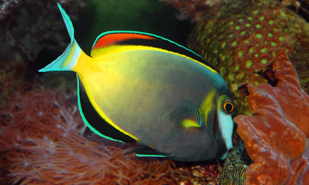 sturgeon fish tubbataha