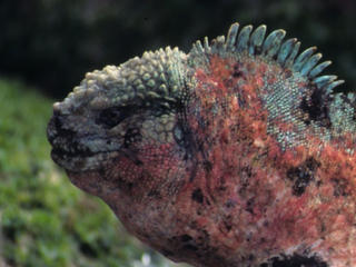 Marine iguana (Amblyrhynchus cristatus) profile. Galapagos Islands, Ecuador.