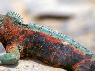  Marine iguana (Amblyrhynchus cristatus) resting on a rock. Galapagos Islands, Ecuador.