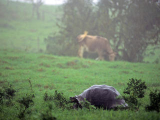 Giant Tortoise in field