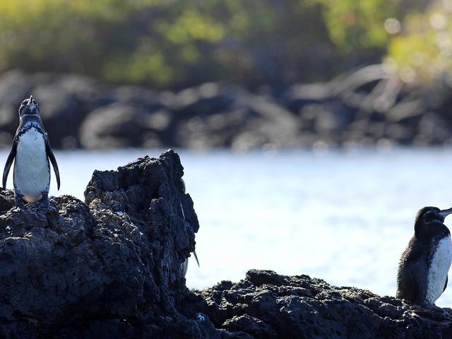 Galpagos penguin on rocks