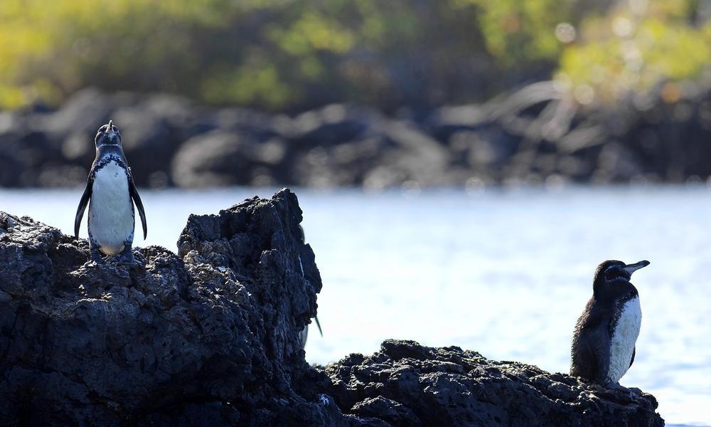 Galápagos penguin on rocks