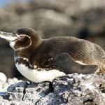 Galpagos penguin