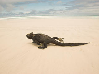 Marine iguana on a sandy beach in the Galapagos Islands, Ecuador.