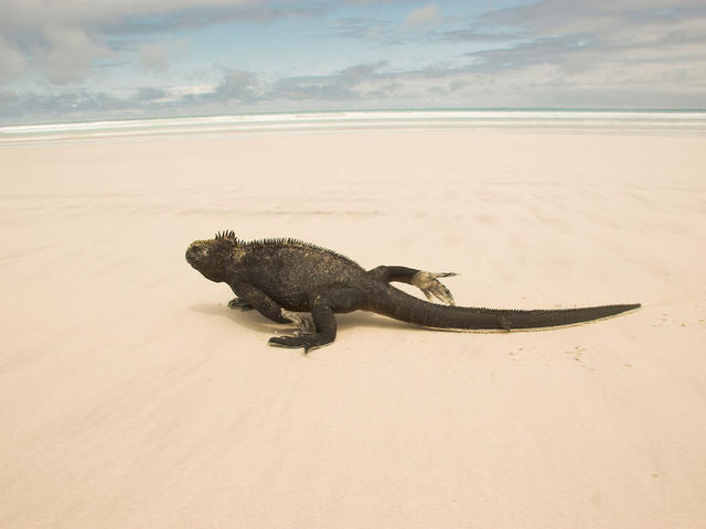 Marine iguana (Amblyrhynchus cristatus) on sandy beach.Tortuga Cove, Santa Cruz, Galapagos Islands, Ecuador.