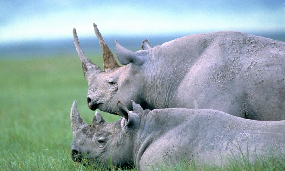 two black rhino