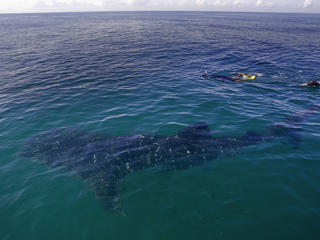 Whale shark _ tips for swimming