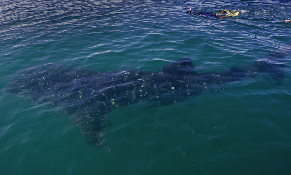 115291_Michael_Gunther_WWF-Canon_MX_Whale_Sharks_cropped.jpg