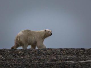 polar bear approaches