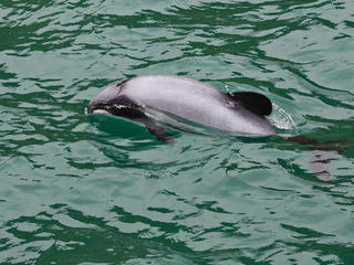 Hector&#x27;s Dolphin in New Zealand Waters 