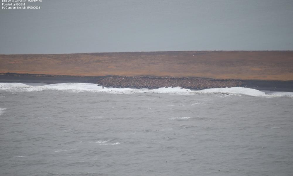 Thousands of Walruses Forced Ashore as Arctic Sea Ice Declines