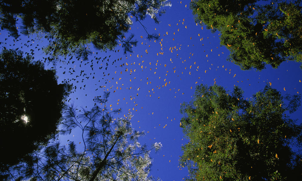 Swarm of Monarch butterflies