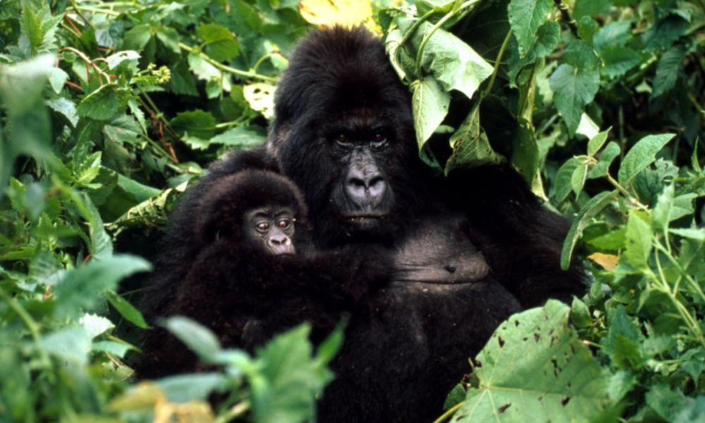 gorilla and babies