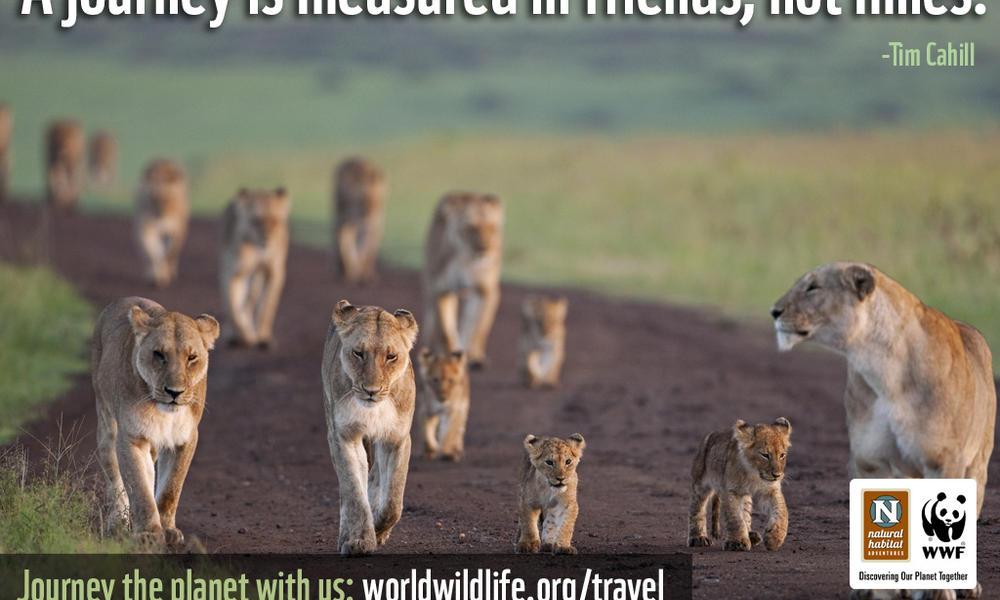 Travel Wallpaper - 1024x768 Journey Lions