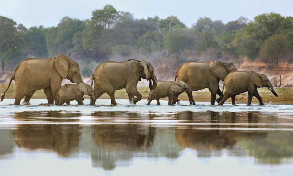 elephants walking in water