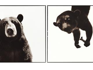 black bear and kinkajou